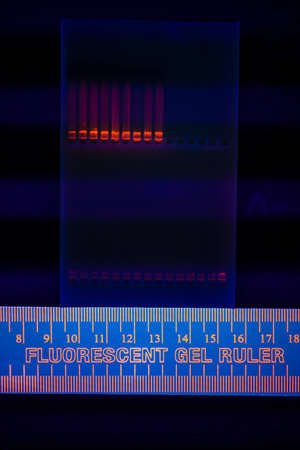 Nuclear and mitochondrial DNA separated by electrophoresis on an agarose gel  Detection by addition of Ethidium Bromide becoming fluorescent under the UV light  photo