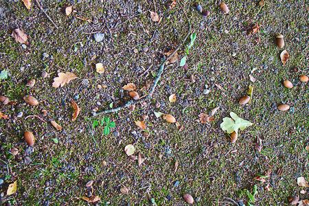 acorns: acorns and leaves
