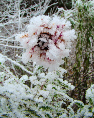 the frozen autumn asters flower in the country photo