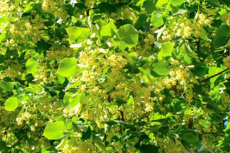 tilo: exuberante floraci�n de tilo en los rayos del sol brillante