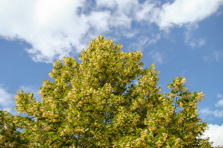 linden tree: linden tree thrives on a hot summer day