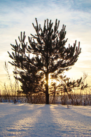 lone pine: Lone Pine in the winter field on a background of the sun