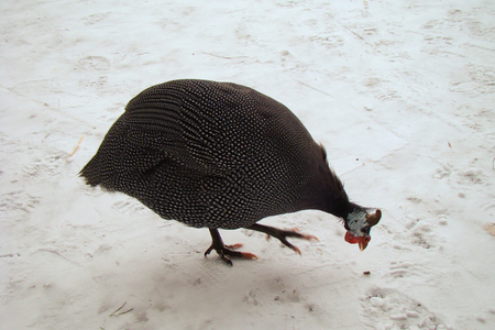 fowl: gray to white speckled guinea fowl in the snow Stock Photo