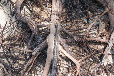 tightly: tightly intertwined roots of a tree on the sand