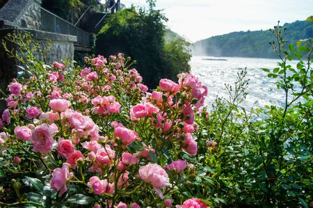 pink flowers near a stone staircase in the foreground