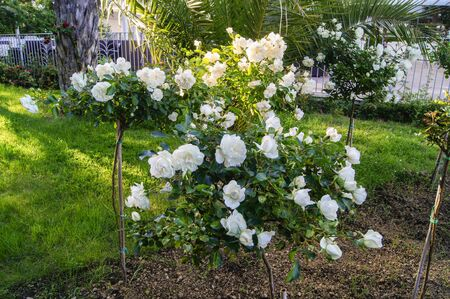 no body: Bush stam roses tied to a peg Stock Photo