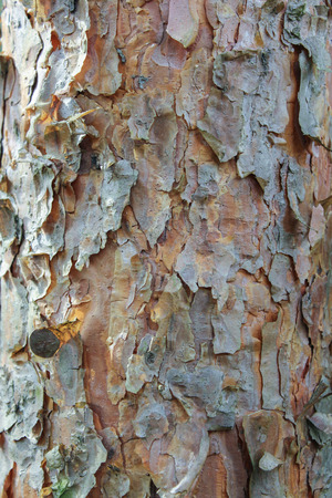 bark peeling from tree: loose flakes of bark on the trunk of a pine