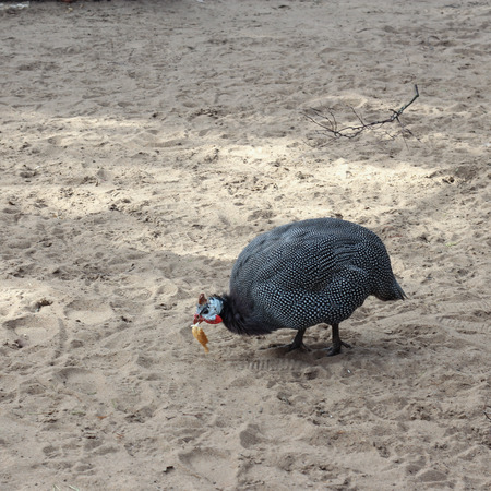 guinea fowl: guinea fowl with a piece of food in its beak