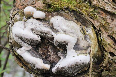 buildup: the buildup of mushrooms on wood cut down a tree