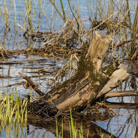 protruding: Coastal aquatic vegetation at the river with protruding driftwood Stock Photo