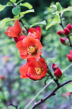 membrillo: floración membrillo