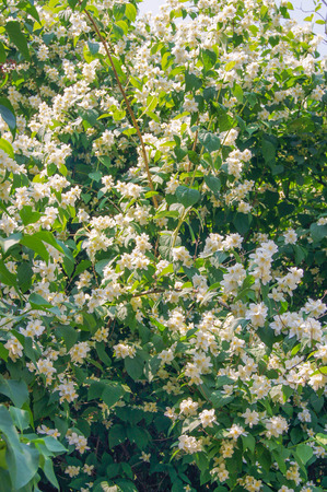 jasmine bush: jasmine bush Stock Photo