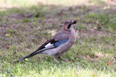 green jay: polluelo de Jay en la pradera