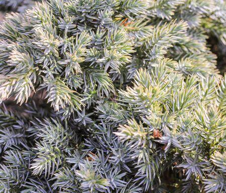 juniper: blue juniper needles