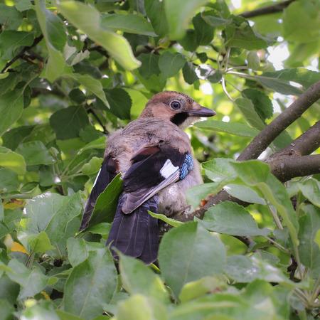 green jay: ave joven bosque Foto de archivo