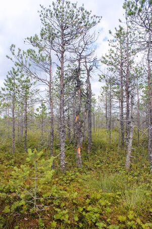 bog: pine growing on the bog