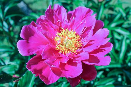revealed: as revealed peony flower Stock Photo
