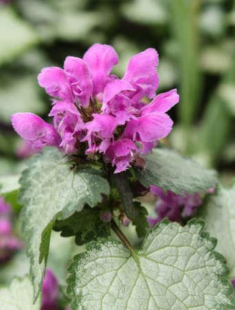 wild mint: Flower wild mint