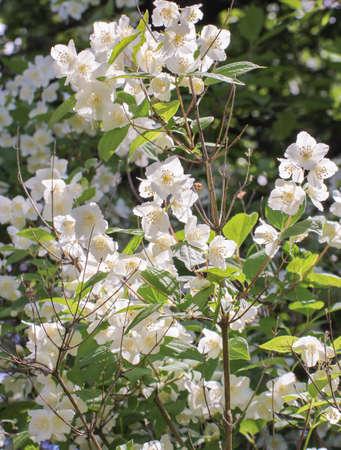 jasmine bush: white jasmine bush