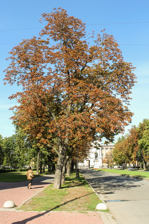 tourist spots: Autumn chestnuts along the way. St. Petersburg, Russia - 6 September, 2015. Excursion - tourist spots in St. Petersburg. Editorial