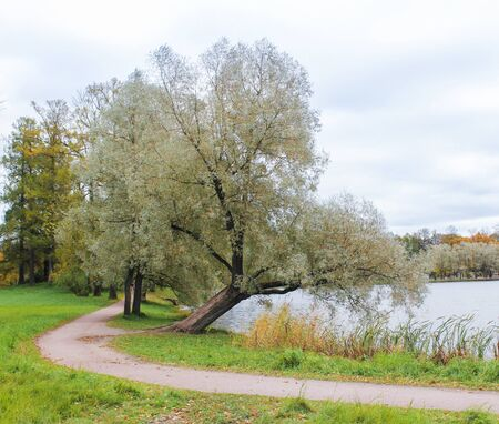 The silvery willow over the water. Stock Photo