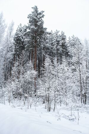 The dark trees in the winter forest.