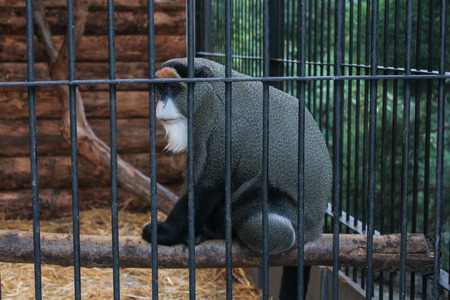A monkey with a white beard. Zoo and animals on the territory of the hotel Yalta Intourist.