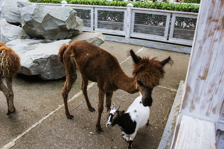 Goat with alpacas. Zoo and animals on the territory of the hotel Yalta Intourist. Banco de Imagens