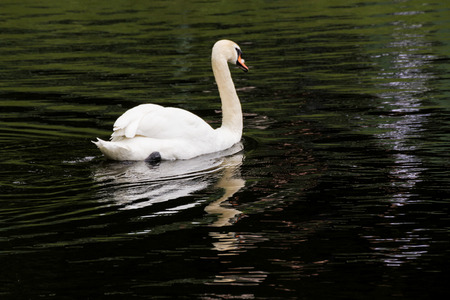 White swans and other waterfowl on the pond.