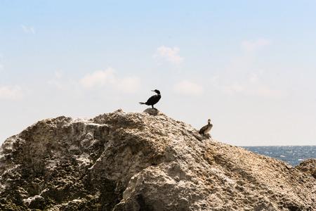 Wild seabirds on a rock in the sea.