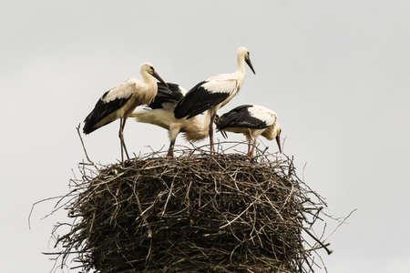 Storks in the wild. Stockfoto