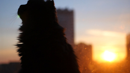 Fluffy cat sitting on the windowsill against the sunset in the city.
