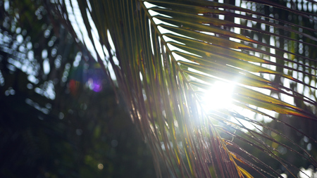 The sun shines through the green leaves of the palm. HD