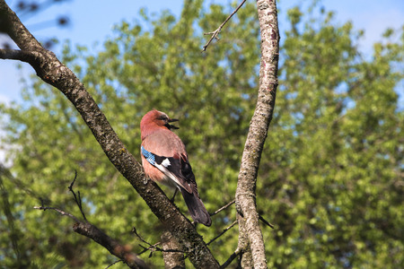 Singing spring bird on a dead tree in the garden on a clear blue sky. Stock Photo