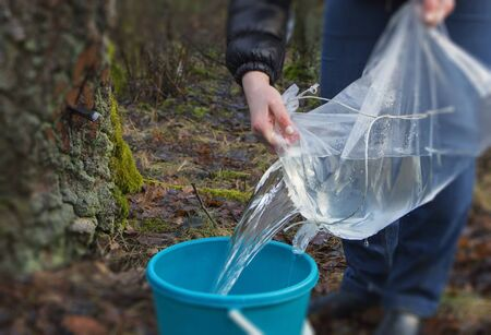 Harvesting of birch sap in a spring forest.