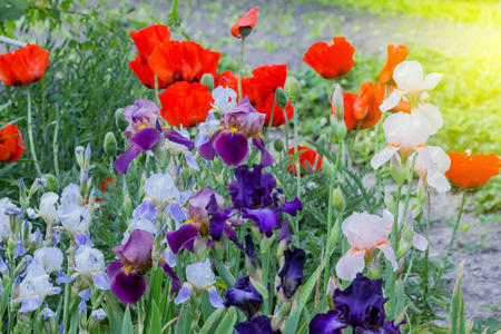Blossoming poppy and gladiolus flowers in the summer garden stock blossoming poppy and gladiolus flowers in the summer garden stock photo 80005774 mightylinksfo