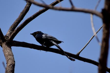 microcircuit: Black Drongo