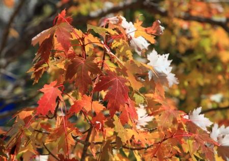 Orange maple leaves during autumn  Imagens