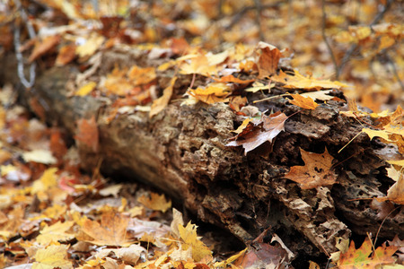 Fall foliage and maple leaves scattered on wooden log