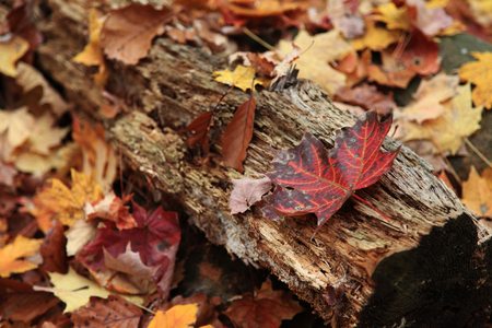 Fall foliage and maple leaves scattered on wooden logs  Stock Photo