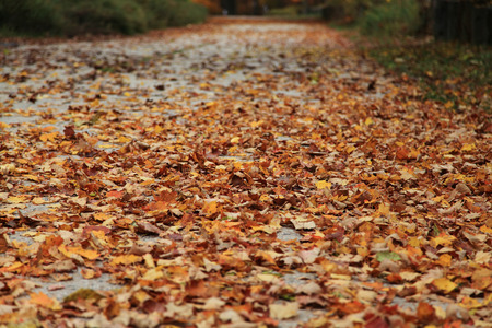 Fall foliage and maple leaves scattered on ground