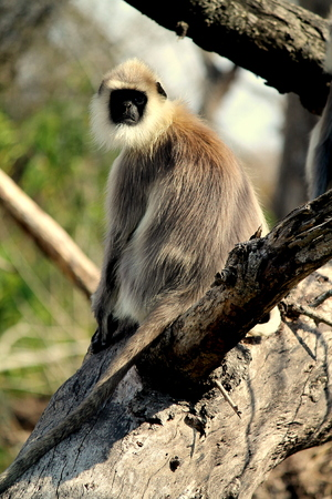 straight faced: India Black faced langur in bandipur tiger reserve forest.