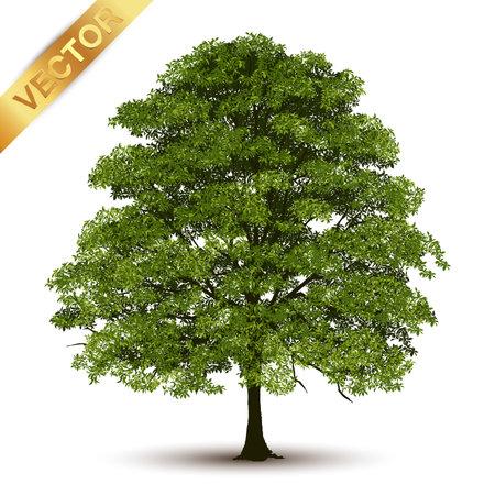 Piękne drzewo Realistyczne na białym tle.