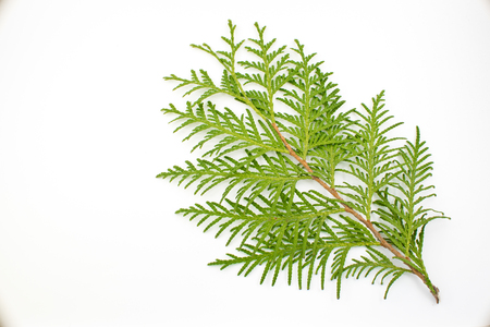 thuja leaf on white background