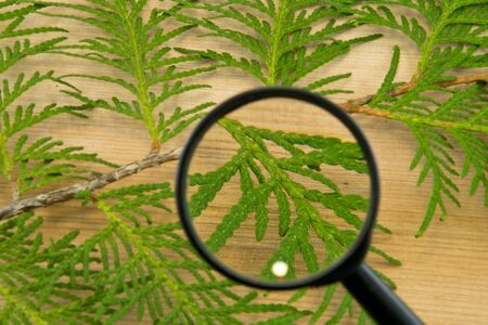 Thuja leaves through magnifying glass on wooden background