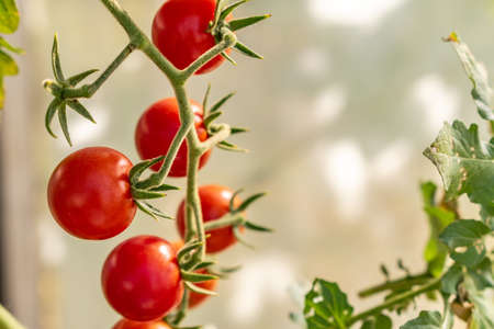 Organically grown beautiful red ripe cherry tomatoes in a non industrial greenhouse, Stock fotó