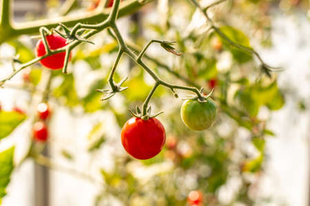 Organically grown beautiful red ripe and green unripe cherry tomatoes in a non industrial greenhouse,