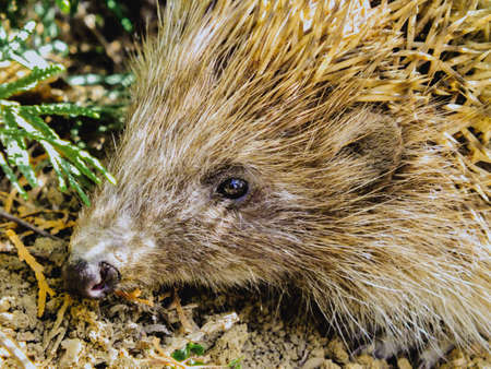 European hedgehog in it's natural habitat outdoors in the forest during spring or summer, cute mammal, insectivore