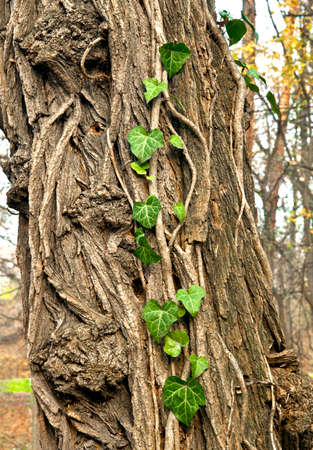Ivy growing on a tree photo