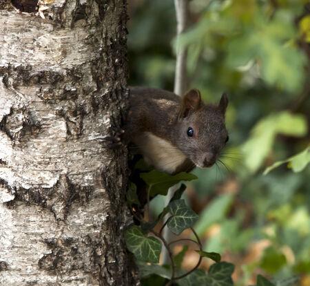genera: Squirrel in the park